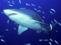 لعبة تلوين سمكة القرش